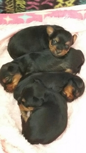 Miniature/Pocket Size Yorkshire Terrier Puppies